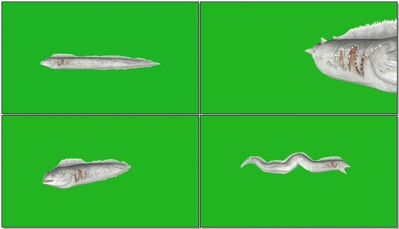 绿屏抠像带鱼牙刀鱼.jpg