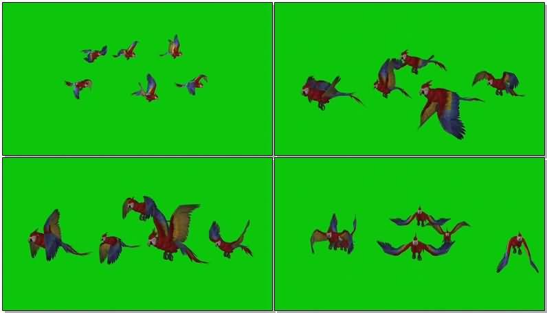 绿屏抠像飞行的鹦鹉.jpg