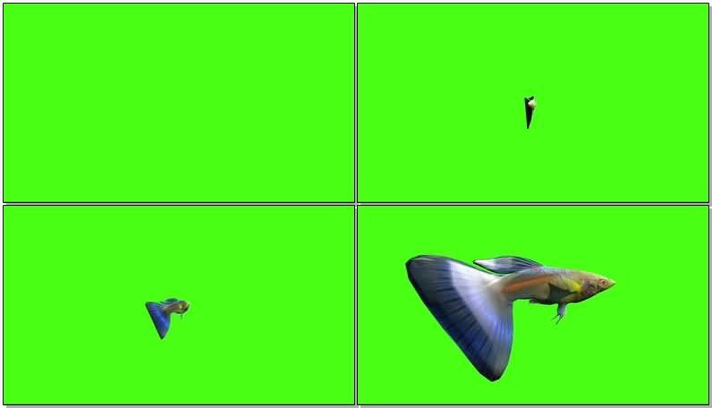 绿屏抠像孔雀鱼.jpg
