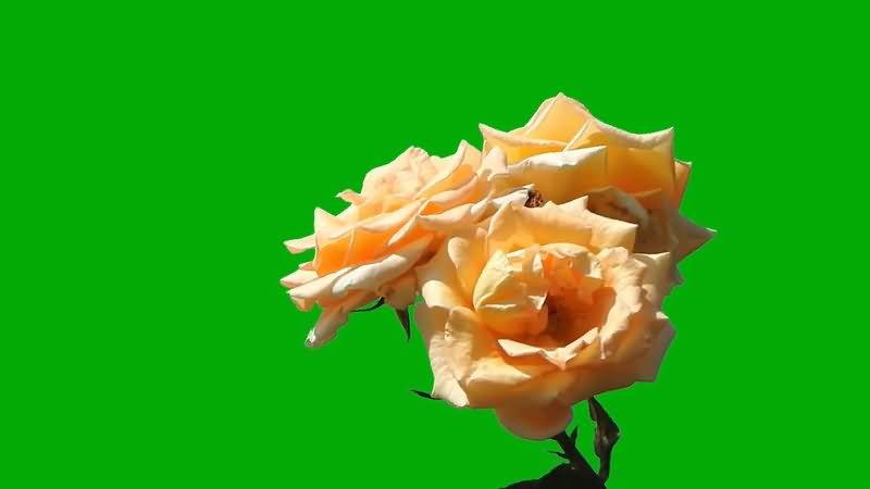 绿屏抠像玫瑰花.jpg