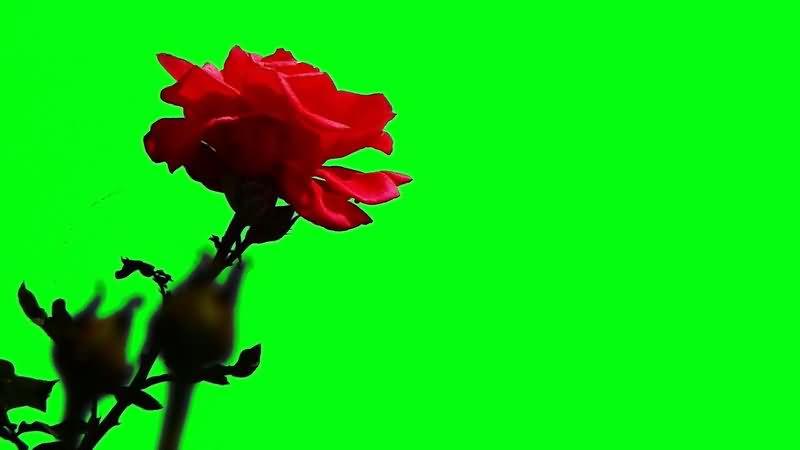 绿屏抠像红色玫瑰花.jpg