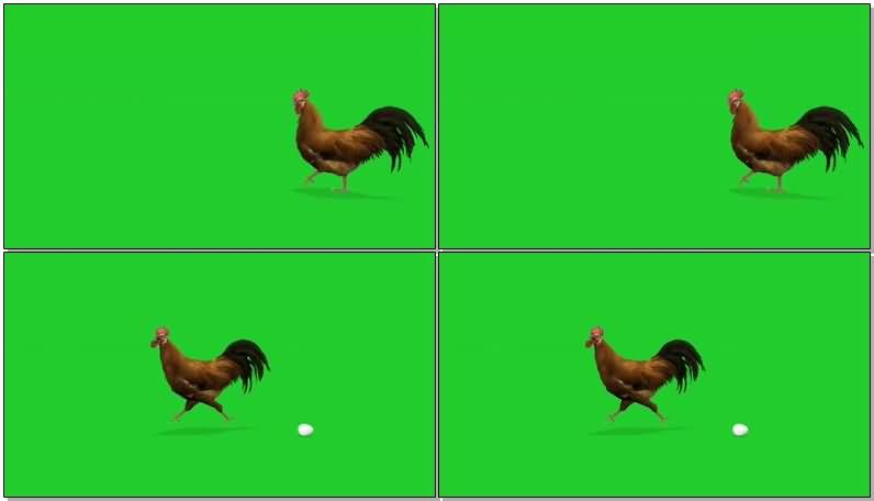 绿屏抠像下蛋的公鸡.jpg