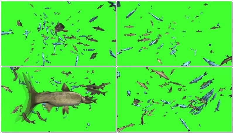 绿屏抠像3D鱼群.jpg