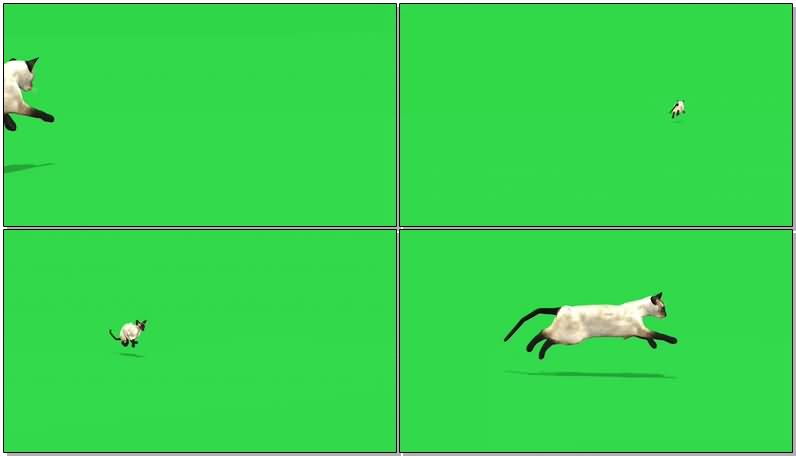 绿屏奔跑的黑腿白猫.jpg