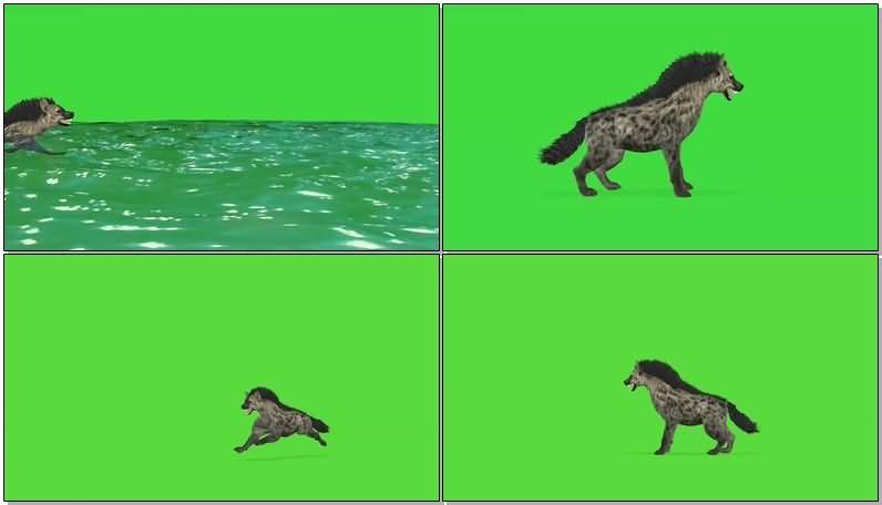 绿屏抠像鬣狗土狼.jpg