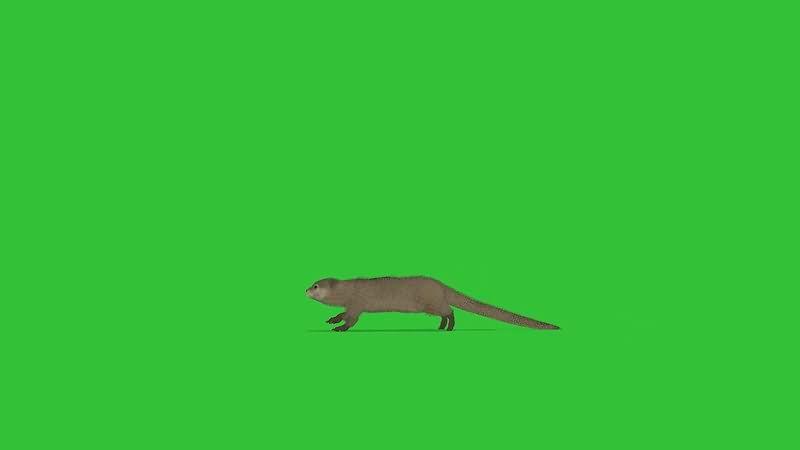 绿屏抠像黄鼠狼.jpg