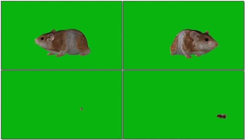绿屏抠像可爱的仓鼠.jpg