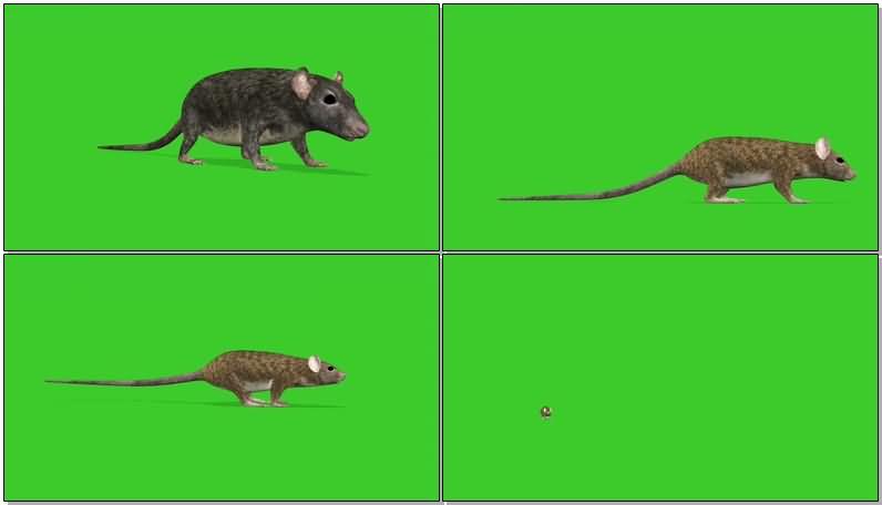 绿屏抠像老鼠.jpg