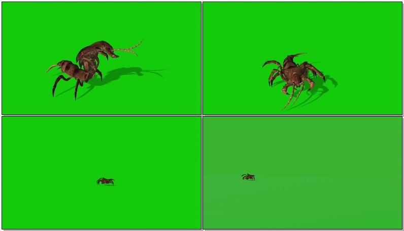 绿屏抠像爬行的蠼螋昆虫.jpg