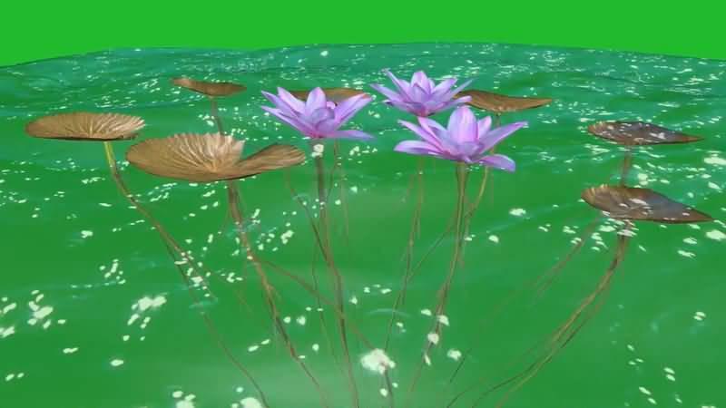 绿屏抠像水中的荷叶荷花.jpg