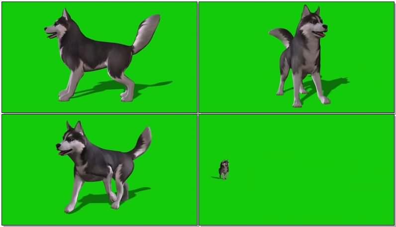 绿屏抠像爱斯基摩犬.jpg