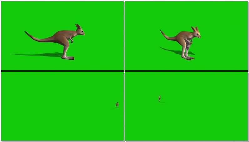 绿屏抠像袋鼠.jpg