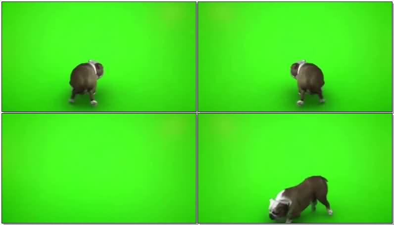 绿屏抠像斗牛犬.jpg