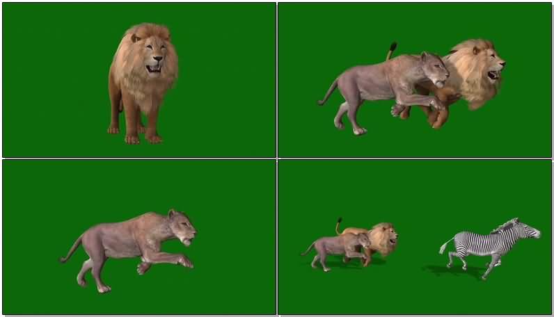 绿屏抠像狮子捕猎.jpg