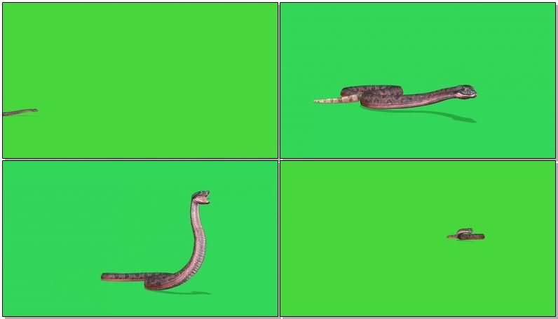绿屏抠像爬行的蟒蛇.jpg