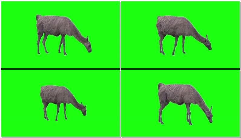 绿屏抠像吃草的羊驼.jpg