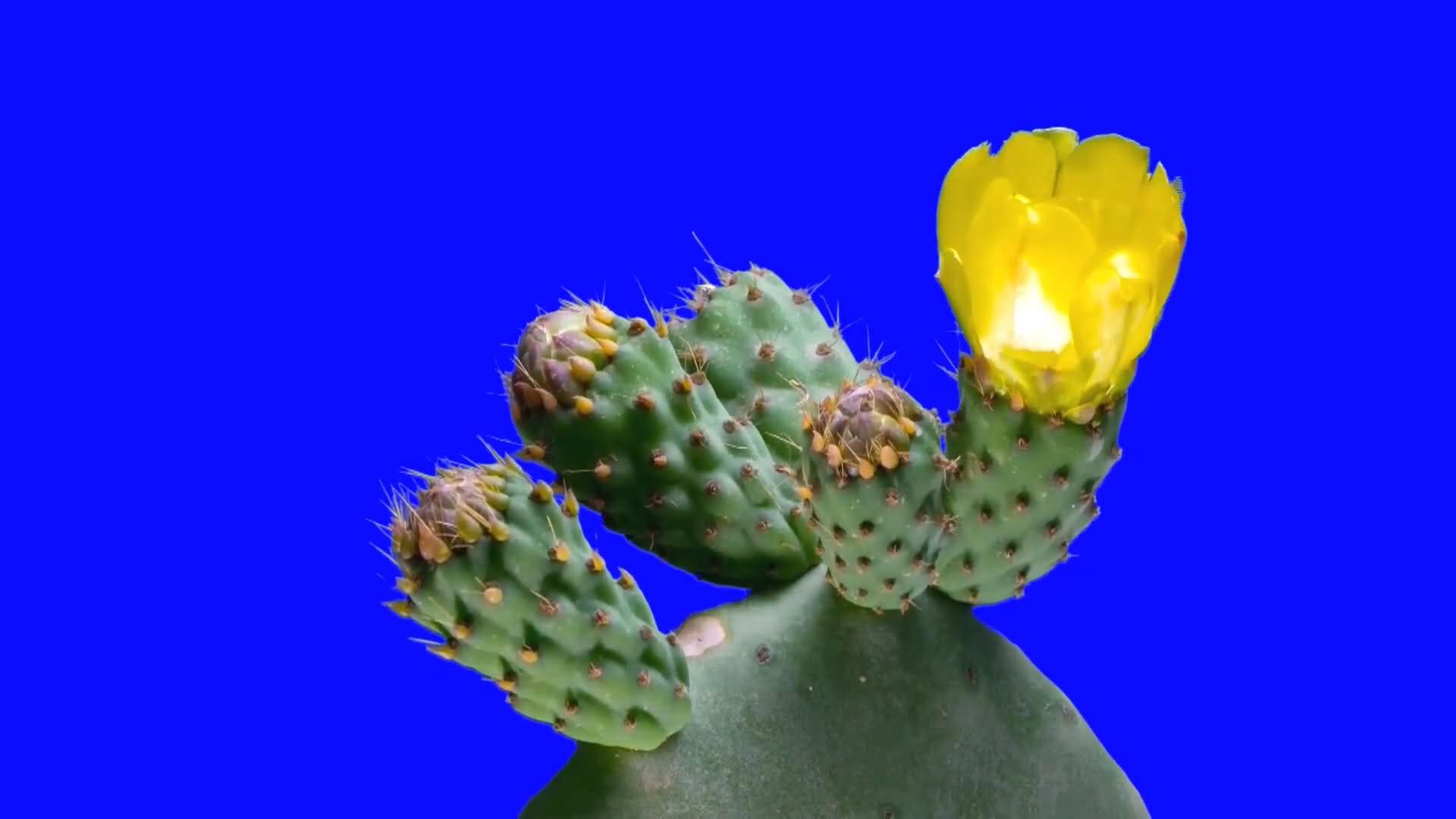 绿屏抠像开花的仙人掌视频素材