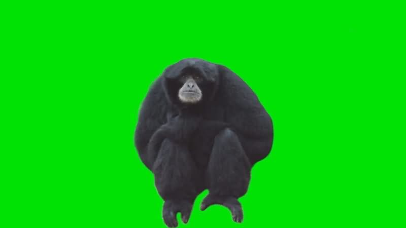 绿屏抠像黑猴子.jpg