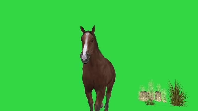 绿屏抠像棕色的骏马.jpg