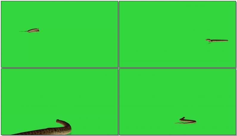 绿屏抠像蟒蛇.jpg