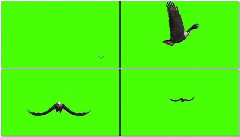 绿屏抠像飞翔的鹰.jpg
