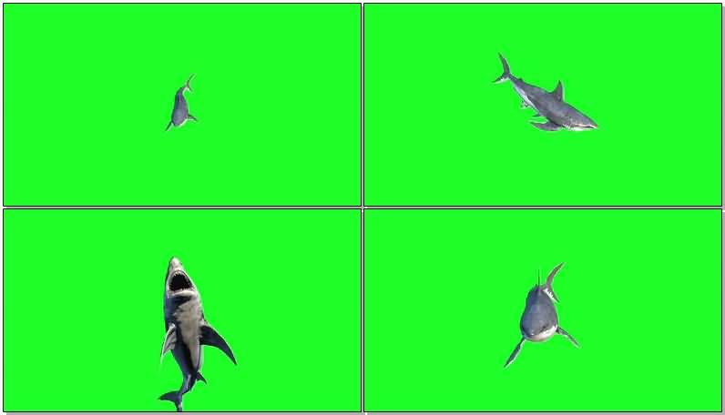 绿屏抠像鲨鱼.jpg