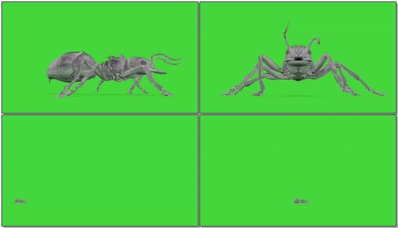 绿屏抠像巨大的蚂蚁.jpg