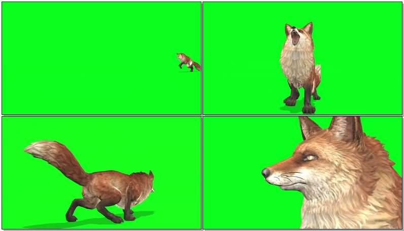 绿屏抠像狐狸视频素材