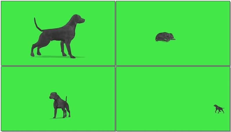 绿屏抠像拉布拉多猎犬.jpg
