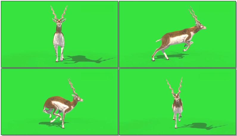 绿屏抠像印度羚羊.jpg