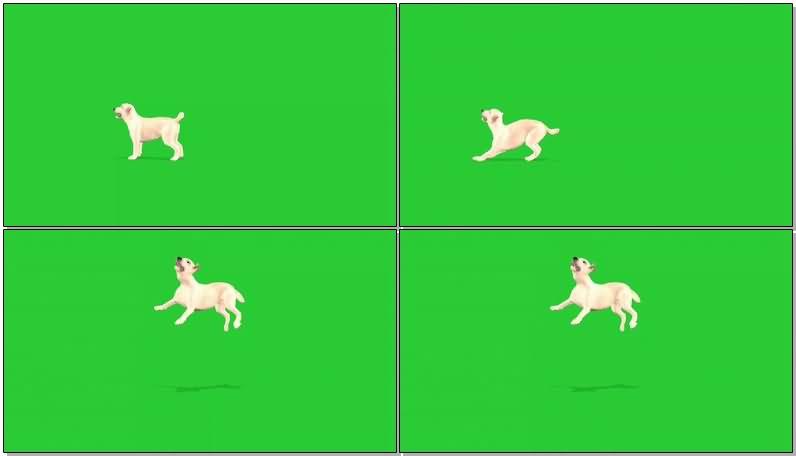 绿屏抠像玩耍的狗狗.jpg