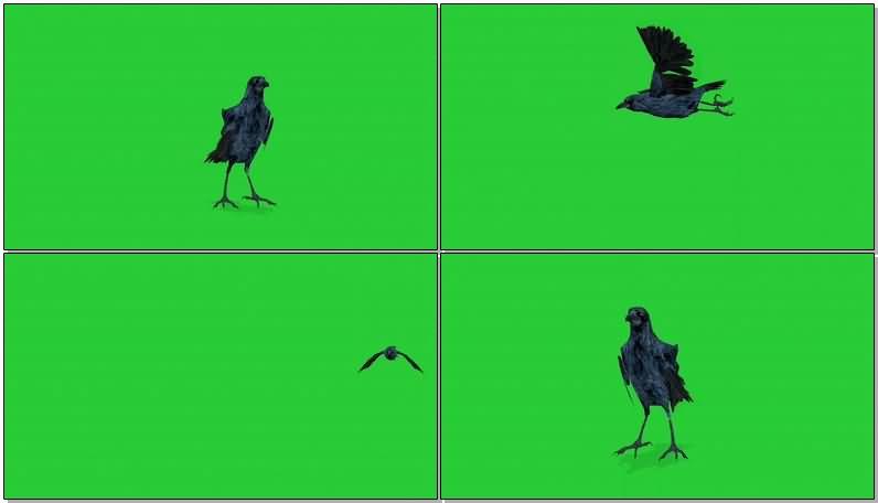 绿屏抠像乌鸦.jpg