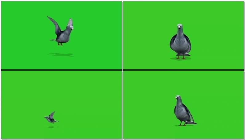 绿屏抠像鸽子.jpg
