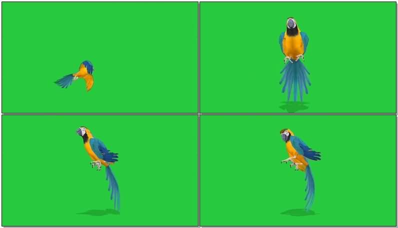 绿屏抠像鹦鹉.jpg