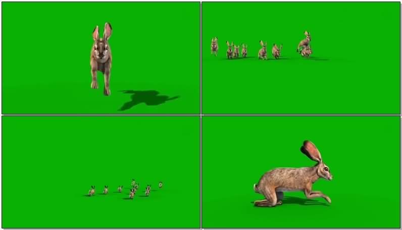 绿屏抠像野兔.jpg