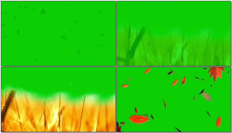 绿屏幕抠像枫叶.jpg