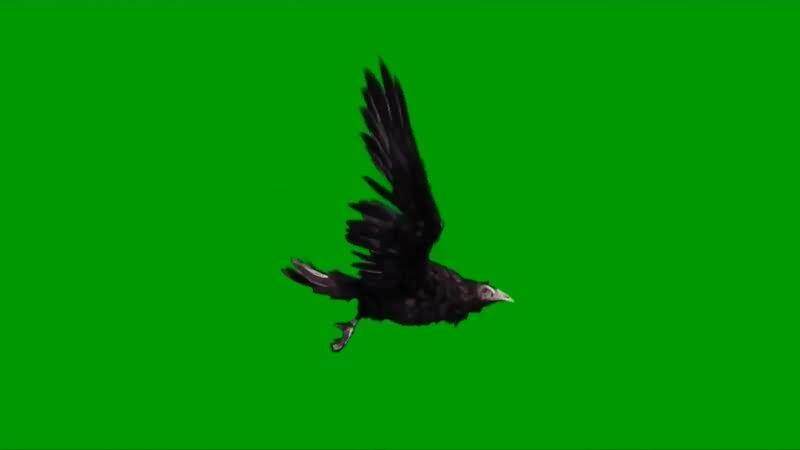 绿屏幕抠像老鹰.jpg