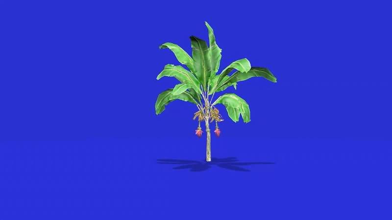 绿屏幕抠像火龙果树.jpg
