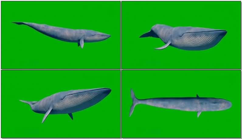 绿屏幕抠像蓝鲸.jpg