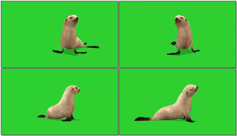 绿屏幕抠像海豹视频素材