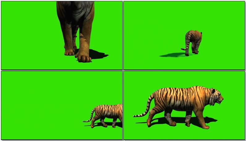 绿屏抠像视频素材老虎