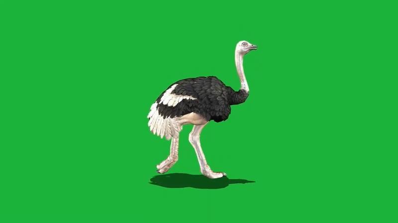 绿屏抠像视频素材鸵鸟.jpg