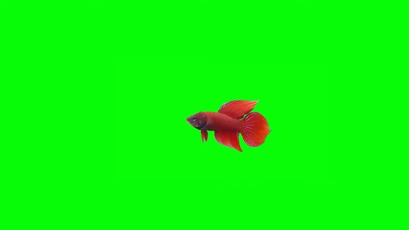 绿屏抠像视频素材金鱼.jpg
