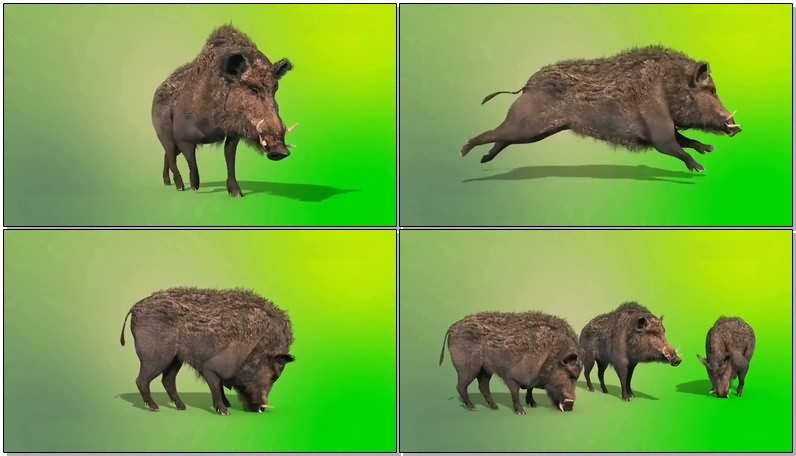 绿屏抠像视频素材野猪.jpg