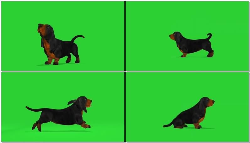 绿幕视频素材巴塞特猎犬.jpg