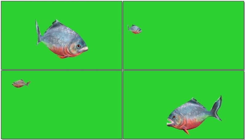 绿幕视频素材食人鱼