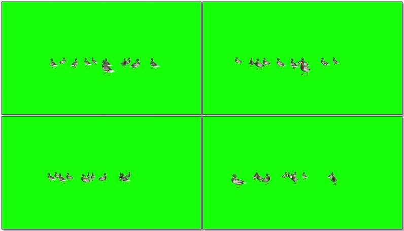 绿幕视频素材鸭子.jpg
