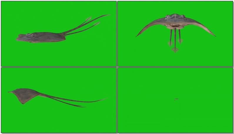 绿幕视频素材蝠鲼魔鬼鱼