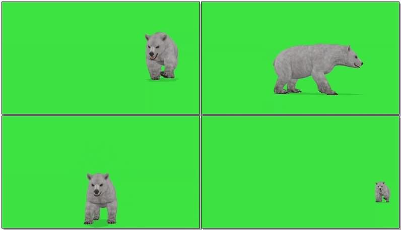 绿幕视频素材北极熊.jpg