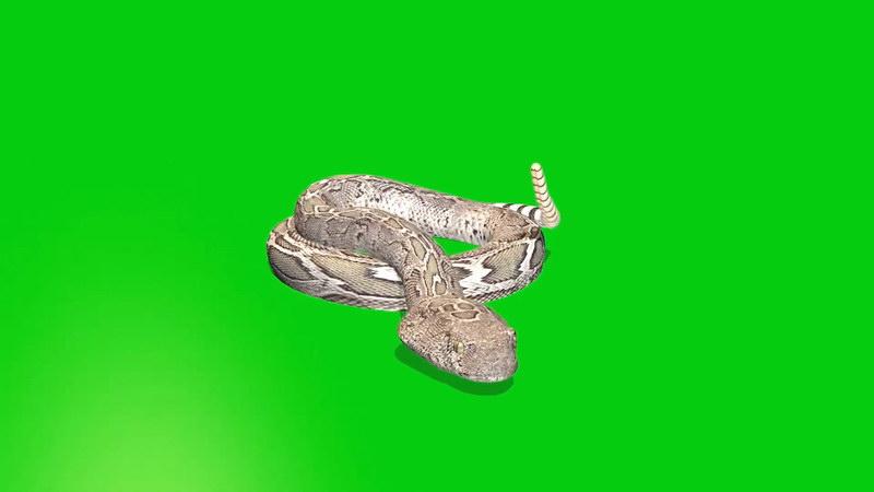 绿幕视频素材响尾蛇.jpg